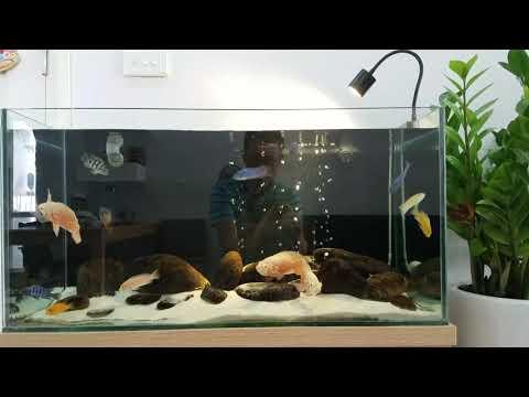 Thử thả cá ali vào bể tai tượng châu phi
