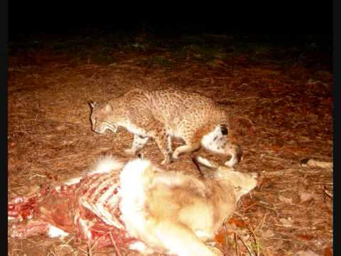 bobcats eating a deer graphic images youtube