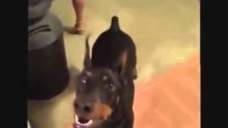 Как собака собирается на дачу 240p