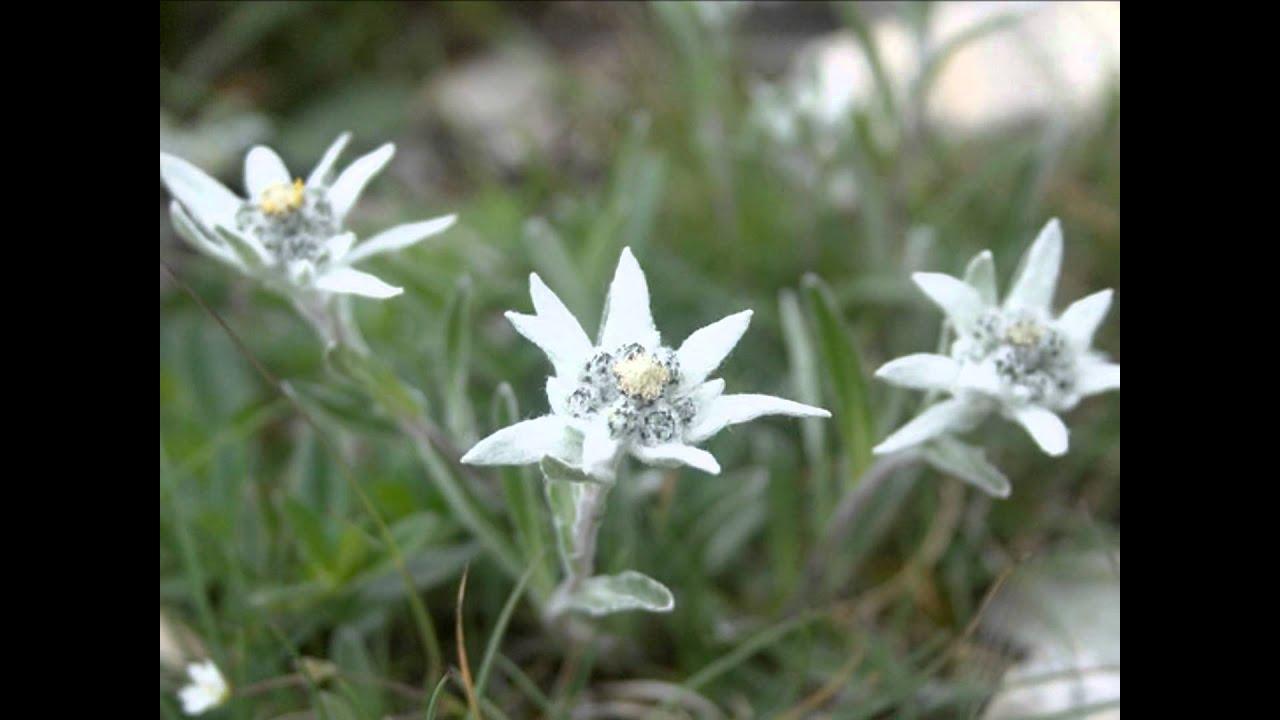 Songbird deb edelweiss with lyrics youtube m4hsunfo