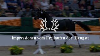 Impressionen vom Freilaufen der Hengste - Trakehner Hengstmarkt 2014