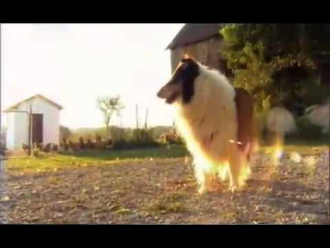 Колли. Породы собак