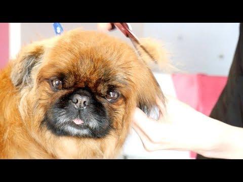 PetGroooming - Never Shave Down your Pekingese