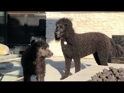 Watching standard poodle poodle puppies play