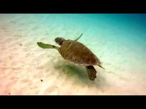 Green Sea Turtle Grazing: Carlisle Bay, Barbados