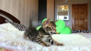 Бенгальские котята продажа. BOY 3