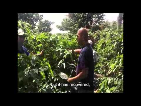 Timorex Gold - Coffee producers are very satisfied with organic solutions