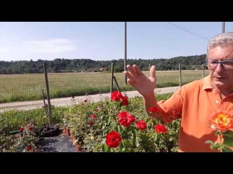 Come piantare le rose a cespuglio funnydog tv - Trapianto camelia ...