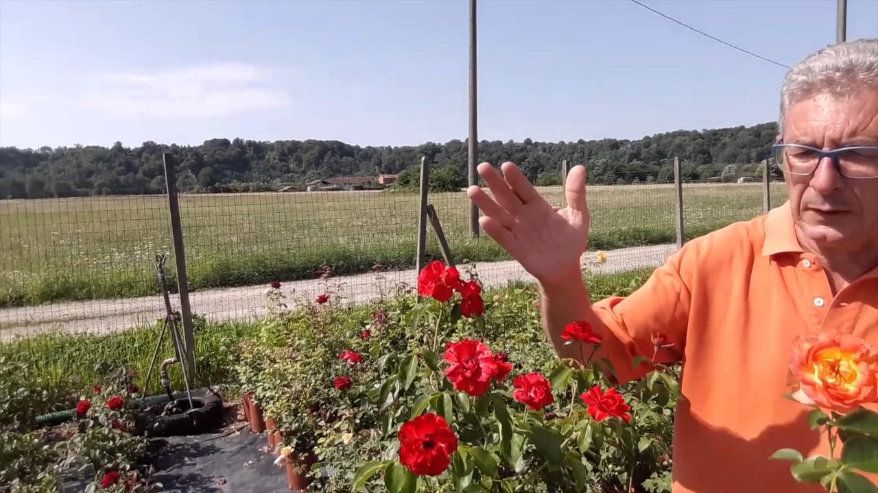Piante Di Rose Rampicanti parliamo di rose: ad alberello a cespuglio e rampicanti