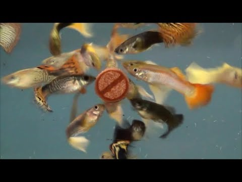 Fish Science Aquarium Fish Food Youtube