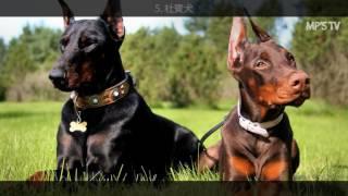 世界十大聰明犬排行榜