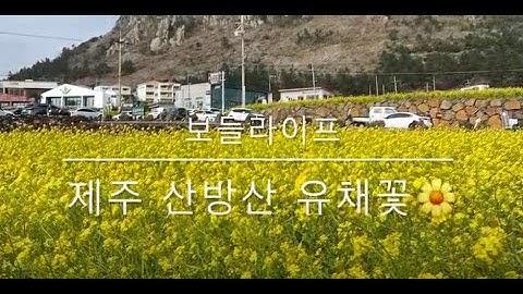 [보들라이프] 제주 산방산 유채꽃 너무 이뻐요!!