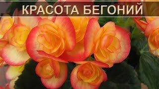 Красота бегонии: названия видов - Names of varieties of tuberous begonias