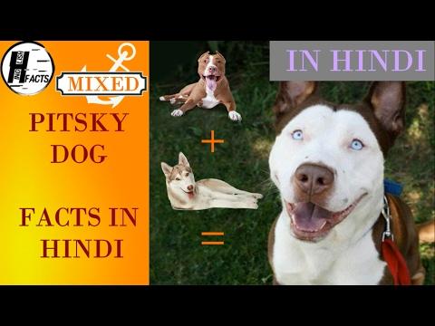 Pitsky Dog Facts | Hindi | MIX DOG BREEDS | HINGLISH FACTS