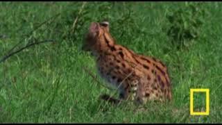 Кошка Сервал