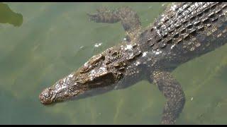 Экзотическая рыбалка с крокодилами за  100 баксов