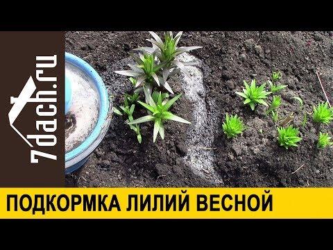 ⚜️ Подкормка лилий для пышного цветения 7 дач