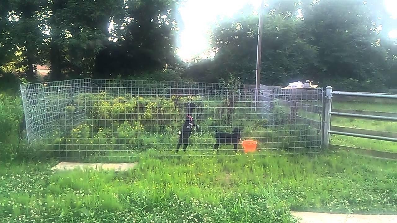 Nigerian dwarf goats testing electric fence youtube
