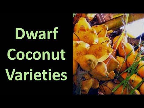 Information on Dwarf Coconut (Cocos nucifera) Varieties