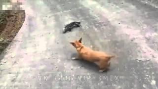 Большая Ящерица нападает на Собаку(С этой ящерицей шутки плохи, она не готова сдаваться и будет отважно биться даже с более крупным животным...., 2016-04-10T19:08:04.000Z)