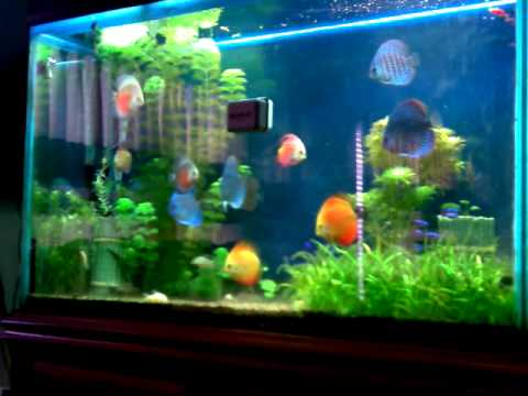 Discus  tank ho Ca dia  thuy sinh planted fresh water tropical fish aquarium live salt