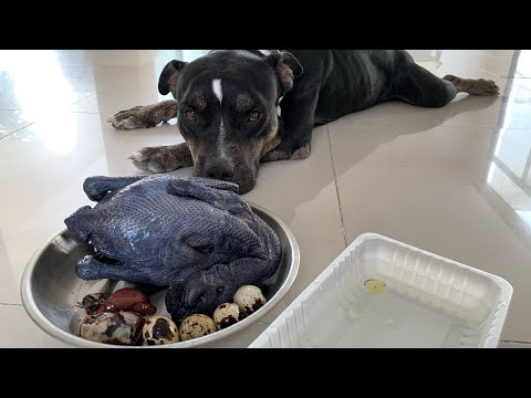 oliang-the-pit-bull-eats-a-whole-raw-black-silkie-chicken[asmr]-barf-|-mukbang-動物の咀嚼音-|-犬が生の肉を食べる-4k