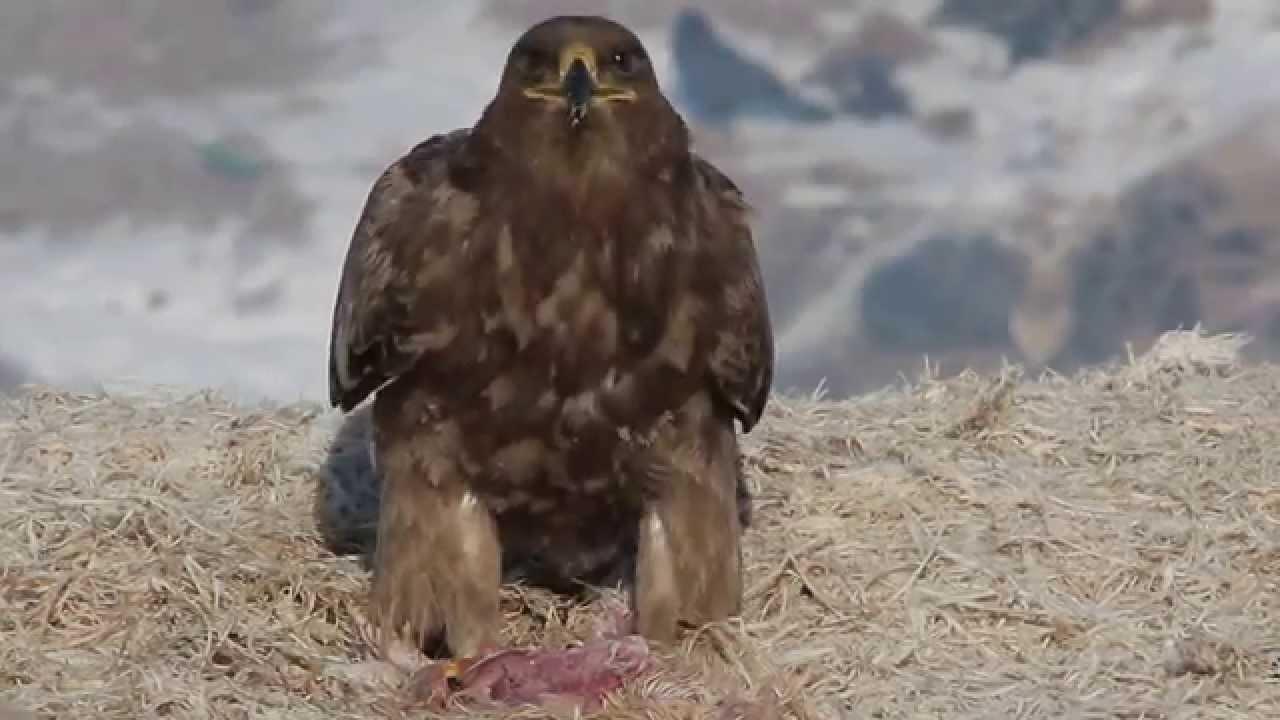 Орел звуки скачать