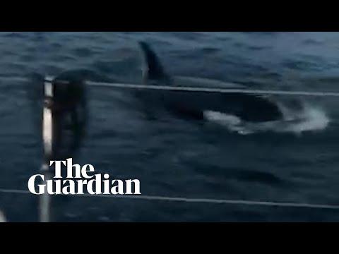 Ataque de orcas - España