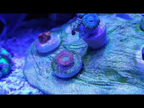 30g long innovative marine update #5 new coral + coral list