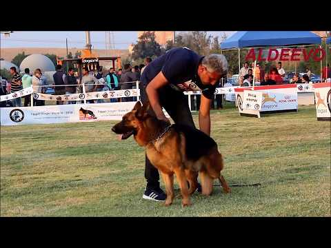 GERMAN SHEPHERD OPEN CLASS  MALE SHORT HAIR