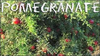 What Is Pomegranate Syrup? / How To Make Fesenjan Recipe