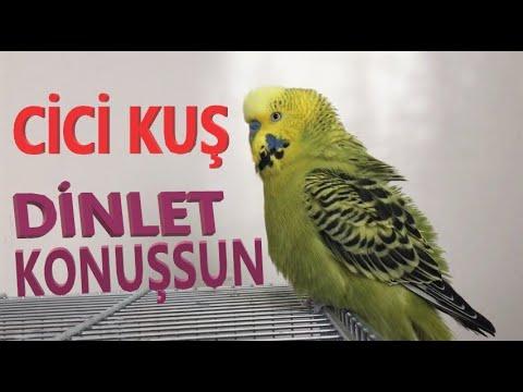 Dinlet konuşsun Cici kuş ses kaydı Gerçek muhabbet kuşundan