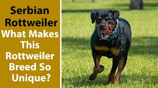 Serbian Rottweiler: What Makes This Rottweiler Breed So Unique?