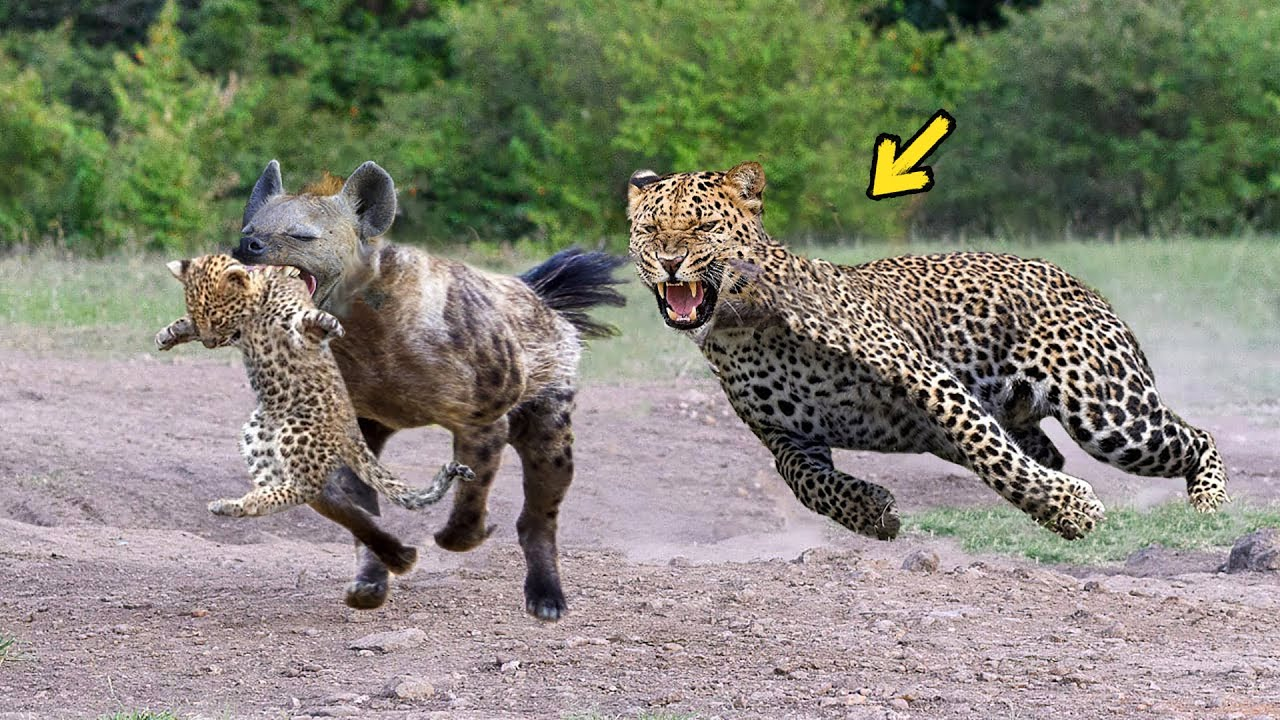 Epic Battle Of King Hyena Vs Leopard - The God can't help ...