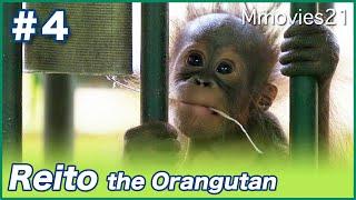 檻を登るオランウータンのレイト4ヶ月 母から離れて冒険 Bornean Orangutan