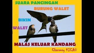 INI DIA SUARA RAJA WALET ASLI KALIMANTAN | VOICE CALL OF THE KING SWIFTLET 2018