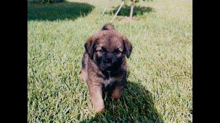 Estrela Mountain Dog.
