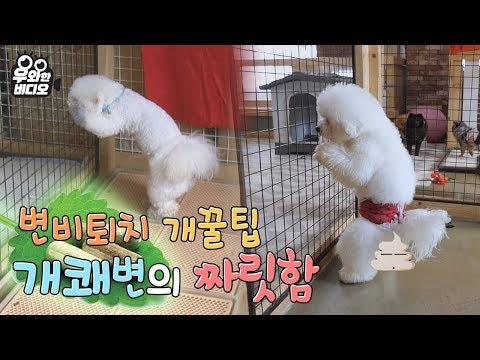 댕댕이를 위한 변비퇴치 개꿀팁! 스탠딩 응가의 세계┃Tips for constipation in dogs! The standing pooping method