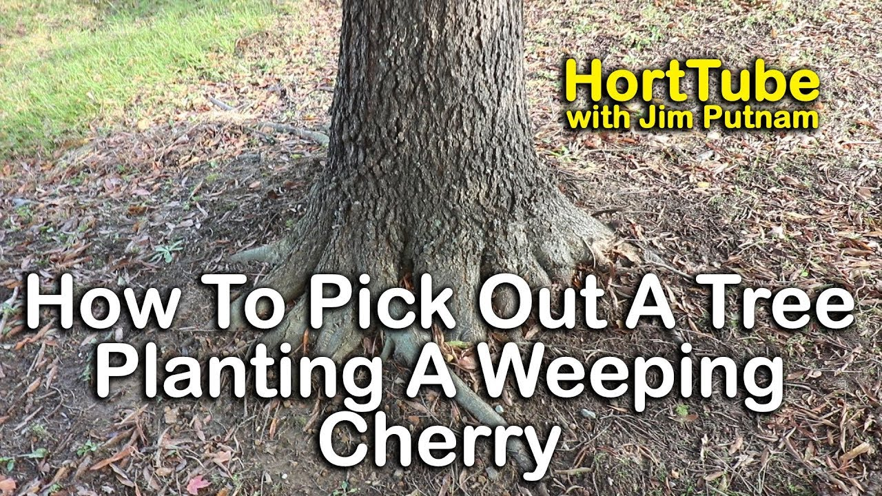 How To Pick Out Healthy Trees Planting Weeping Cherry Tree Youtube