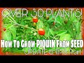 How To Grow PIQUIN From SEED: UPDATE & TIPS: Part 1/OVER 30 Plants!
