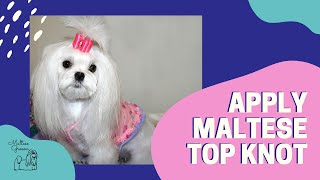Maltese Grooming LIVE  Apply the Top Knot