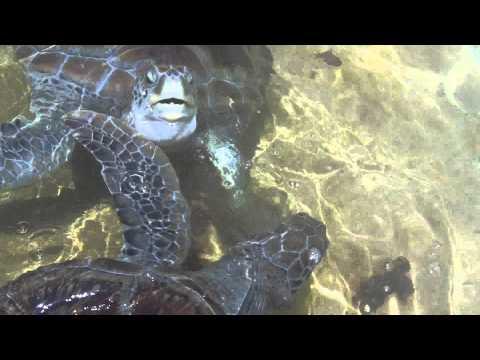 Sea Turtles Swimming around their pool