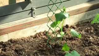 Опора для огурцов и томатов(Вы выращиваете огурцы и помидоры в теплице и пользуетесь опорами – палками и верeвками. От груза плодов..., 2015-06-26T14:00:00.000Z)