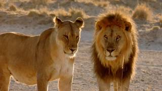 Interesting Facts about African Lions
