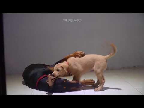 Doberman Plays With Golden Retriever Puppy