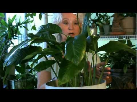 houseplants-#5:-if-your-leaves-turn-yellow...