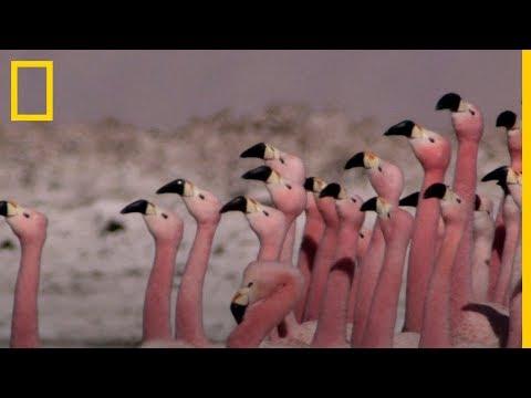 El APASIONANTE baile de los FLAMENCOS | National Geographic en Español