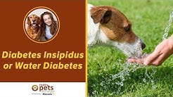 hqdefault - Insepidus Diabetes In Dogs