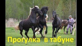 Прогулка  в табуне. Кроющий конь, мамки, жеребята - релакс.