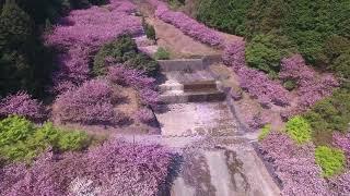 ドローン空撮 2018 羽根谷だんだん公園 八重桜